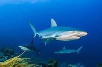 Caribbean reef sharks, Carcharhinus perezi, Bahamas, Atlantic Ocean