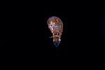 Amphipod close up  face