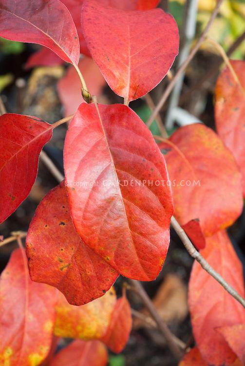 Nyssa sylvatica 'Red Rage' fall foliage - Black Tupelo, Black Gum, Sour Gum tree shrub