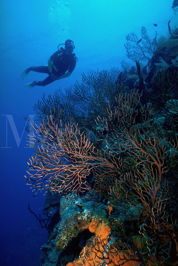 Underwater view as a scuba diver swims over a Sea fan. Grand Cayman.