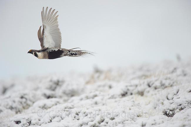 Adult male Gunnison Sage-Grouse  in flight. Gunnison County, Colorado.