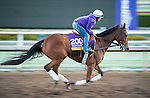 ARCADIA, CA - NOV 02: Beholder, owned by Spendthrift Farm LLC and trained by Richard E Mandella, exercises in preparation for the Breeders' Cup Longines Distaff at Santa Anita Park on November 2, 2016 in Arcadia, California. (Photo by Douglas DeFelice/Eclipse Sportswire/Breeders Cup)