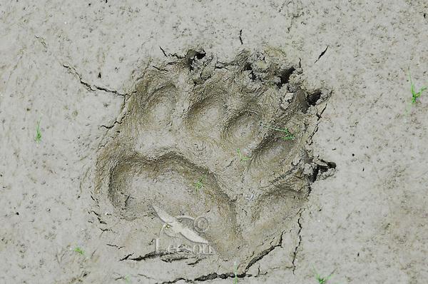 Black Bear  (Ursus americanus) track--front foot-- in mud along pond edge.  Western U.S., summer.