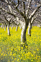 "A fine art landscape image of walnut trees in early spring, still without leaves, surrounded by an ocean of bright yellow mustard.  The branches of the walnut trees reach up, and the trunks arch, giving the impression that the orchard of trees are dancing in unison.  This iconic image of walnut orchards is becoming rare. The image pairs well with ""Spring Walnut Orchard and Mustard"" and ""Mustard and Walnut Tree Landscape."""