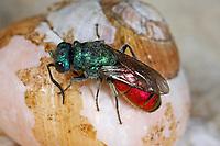 Schneckenhaus-Goldwespe, Chrysis trimaculata, Goldwespen, Chrysididae, cuckoo wasp, cuckoo wasps