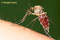 MQ02-601z  Mosquito sucking blood from human finger, Ochlerotatus excrucians, [Aedes excrucians]