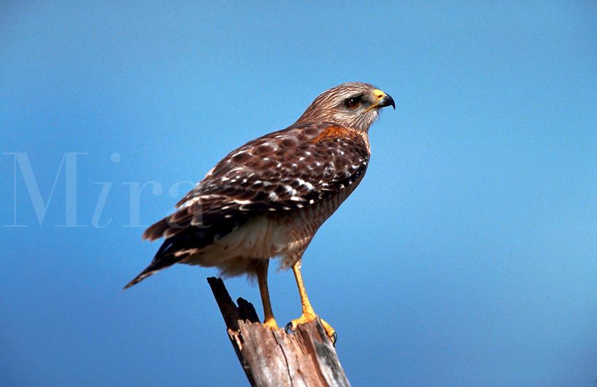 Red shouldered hawk perche