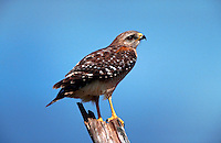 Red shouldered hawk perche