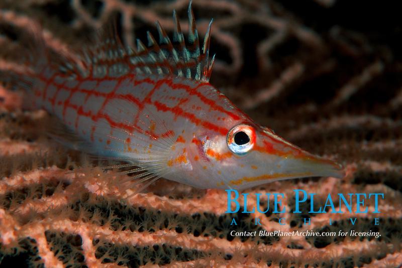 Longnose hawkfish, Oxycirrhites typus, Sharm el Sheikh, Sinai, Egypt, Red Sea