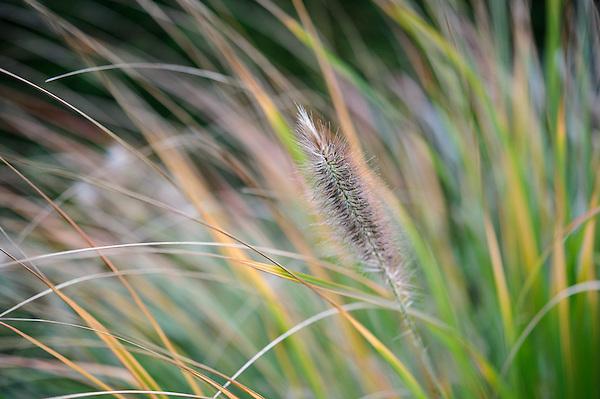 Pennisetum Japonicum