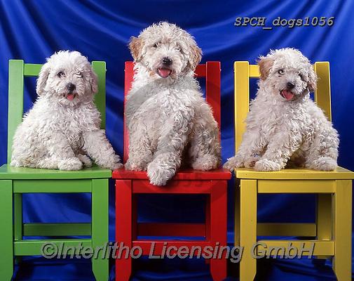 Xavier, ANIMALS, REALISTISCHE TIERE, ANIMALES REALISTICOS, dogs, photos+++++,SPCHDOGS1056,#a#, EVERYDAY
