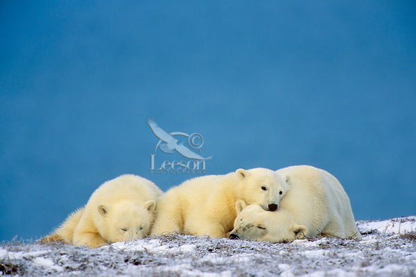 Polar Bears, sow with cubs, resting along Arctic Ocean coast within Arctic National Wildlife Refuge, Alaska.  October.