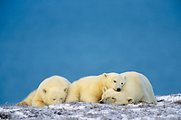 Polar Bears, sow with cubs, resting on Arctic Ocean coast within Arctic National Wildlife Refuge, Alaska.  October.