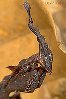 "0314-07mm  Ghost Mantis - Phyllocrania paradoxa ""Male Nymph"" - © David Kuhn/Dwight Kuhn Photography"