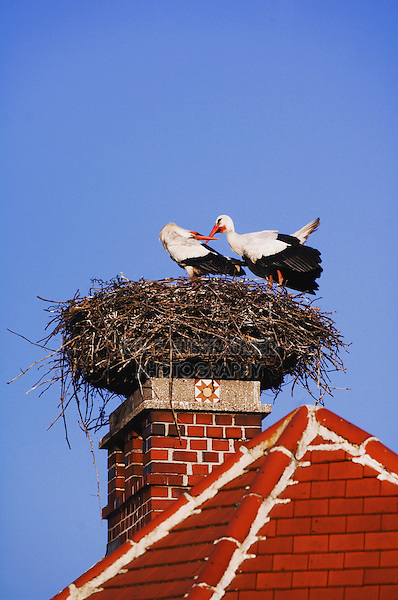 White Stork, Ciconia ciconia, pair on nest on chimney,Rust, National Park Lake Neusiedl, Burgenland, Austria, Europe