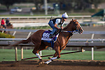 OCT 26 2014:Tapiture trained by Steve Asmussen, exercises in preparation for the Breeders' Cup Dirt Mile at Santa Anita Race Course in Arcadia, California on October 26, 2014. Kazushi Ishida/ESW/CSM