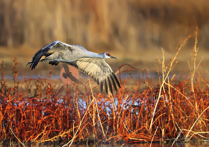 Adult SandHill Crane flying low over water and grass in evening light in winter