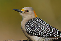 Adult female Golden-fronted Woodpecker (Melanerpes aurifrons) of the subspecies M. a. aurifrons. Hidalgo County, Texas. March.