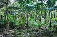 Nikau Palms forest in Kohaihai near Karamea, Kahurangi National Park, West Coast, New Zealand