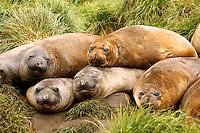 Southern Elephant Seal pups on Macquarie Island, Antarctica