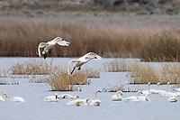 Tundra Swans (Cygnus columbianus). Lower Klamath National Wildlife Refuge, Oregon. February.