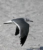 0711-0807  Immature Flying Franklin's Gull, Larus pipixcan ©David Kuhn/Dwight Kuhn Photography