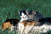 Two kittens sitting on the side of a sleeping beagle pup in the summer grass, Missouri USA