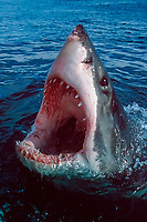 great white shark, Carcharodon carcharias, opening jaws at surface, South Africa