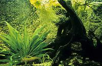 Eingerichtetes Aquarium, Gesellschaftsbecken, Warmwasseraquarium, tropisches Süßwasser-Aquarium, aquarium, fish tank. Mit Moorkienholz, Moorkienwurzel und Schwertpflanze