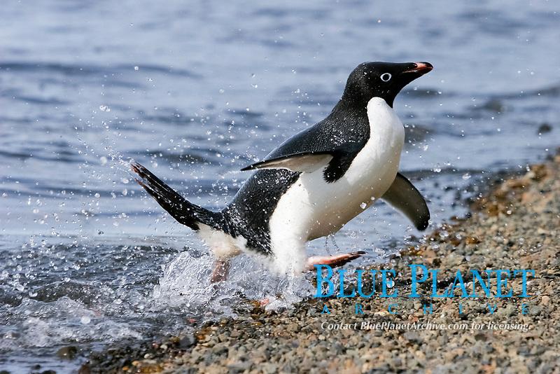 Adelie penguin, Pygoscelis adeliae, adult, Paulet Island, Antarctic Peninsula, Antarctica, Southern Ocean