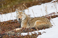 Coyote sunning itself on the side of a hill