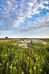 Blue Mound State Park, Minnesota: Field of goldenrod (Solidago sp) under summer sky