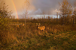 A rainbow appear as a white-tailed buck and doe browse in a northern Wisconsin field.