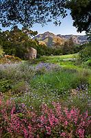 California wildflower meadow with Coral Bells (Heuchera), Verbena, and Sage at Santa Barbara Botanic Garden with Cathedral Peak and Santa Ynez Mountains