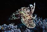 Milne Bay, Papua New Guinea; Cuttlefish, Sepiidae family , Copyright © Matthew Meier, matthewmeierphoto.com