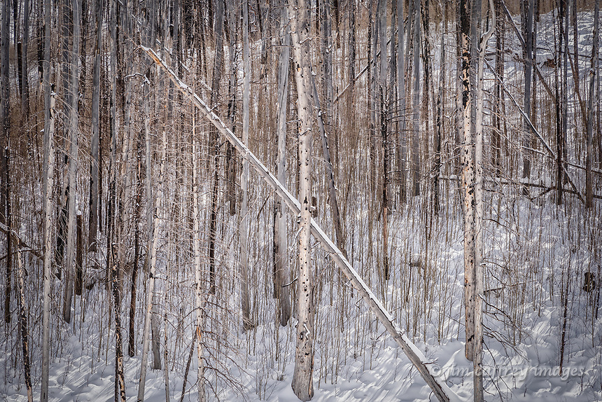 Trees burned in a forest fire stand on a hillside intermingled with new growth in New Mexico's Jemez Mountains