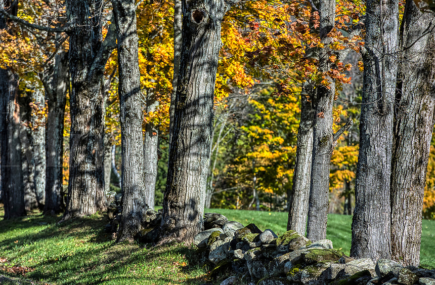 Autumn trees and fieldstone fence, Vermont, USA.