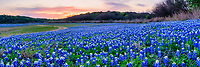 Sunset Over the Bluebonnets Pano  - Another capture of the field of bluebonnets panorama after the sunset and brought up these nice colors of pinks and orange in the sky. We had moved to a different site when the colors from the earlier sunset appeared in the sky.  We had been photographing nearby when we saw the colors and turn our camera that way where the road curved around the bend at the lake.  The Texas hill country dry river bed came back to life this year after the waters went down along the colorado river and this field of bluebonnets popped up.  It was delightful to see the field of wildflowers again not as much as the first time but still wonderful.  We capture this wonderful field of wildflowers just as the sunset colors appear over the trees tops with enough light left for the the flowers.   Spring time in the Texas hill country can be magical when fields of wildflowers appear in great numbers.  We live not far from here so we came here several times till word got out and the bluebonnet got trampled down. The texas hill country has been one of the best places to capture pictures of bluebonnets landscapes in the past and we can only hope forever. Taking pictures of bluebonnets is one of our favorite things to capture. There are many varieties of bluebonnets in Texas from the chiso bluebonnet, to the sandyland and of course the Lupinus texensis lupine,  has been the state flower since the 1901 and all other bluebonnets were included in 1971 by the Texas Legislature which made all lupines in the state the state flower.  For most the most popular is the Lupinus texensis or texas bluebonnet which are here in the hill country which are known for the white top which is said to look like a bonnet.  <br /> <br /> Buy Photos by BeeCreekPhotography, Fine Art,  Buy Art Online. Wall Art. Bluebonnet Landscapes, Flowers and more...