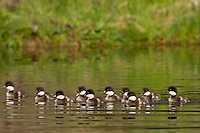 Barrow's Goldeneye (Bucephala islandica) ducklings.  Western U.S., Spring.