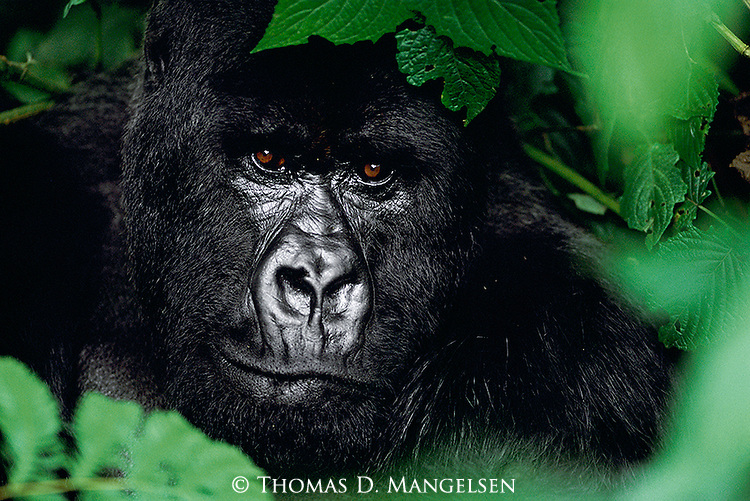 A portrait of a silverback gorilla among dense foliage in Volcanoes National Park, Rwanda.