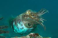 Common cuttlefish, Sepia officianalis, Puerto Galera, Philippines, Pacific Ocean