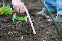 Sowing lettuce seeds into garden soil, Lancashire.