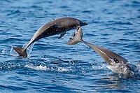 Atlantic spotted dolphin calves, Stenella frontalis, breaching, with parasitic barnacles, Xenobalanus globicipitis, on tail fin, La Gomera, Canary Islands, Spain, Atlantic Ocean