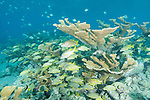 Gardens of the Queen, Cuba; an aggregation of Schoolmaster and Bluestriped Grunts swim amongst the branches of a colony of Elkhorn Coral while Sergeant Major fish swim overhead in shallow water
