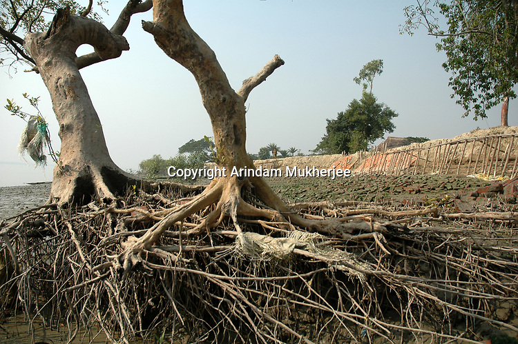 Mangrove trees on a bank of a river in Sunderbans, West Bengal, India. Arindam Mukherjee