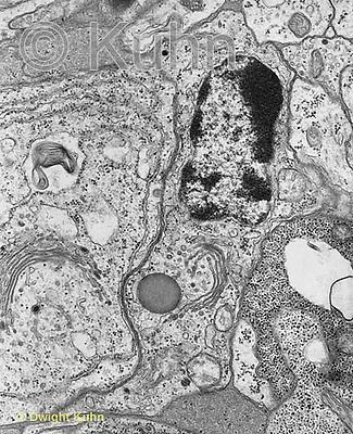 CZ01-016x  Animal Cell showing organelles - nucleus, golgi, mitochondria, cell membrane, ribosomes, cytoplasm 60,000x  TEM