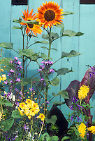 Sunflowers, orange with yellow bicolor center, Helianthus annuus next to fence, annual flowers with perennials and bulbs: with Canna, Verbascum, Kniphofia