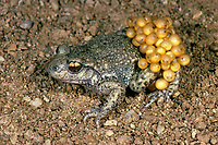 Gewöhnliche Geburtshelferkröte, Nördliche Geburtshelferkröte, mit Laich, Eiern, Kröte, Kröten, Alytes obstetricans, common midwife toad, with eggs, spawn, toads