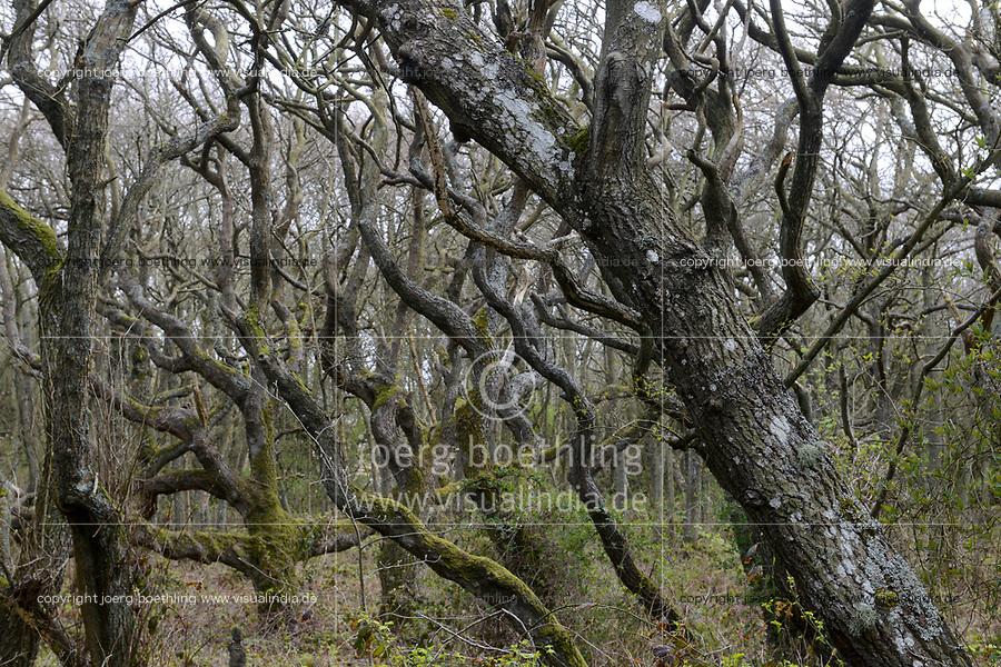 GERMANY,  Sylt, forest, trees / intakter Wald, Laubwald, Landschaftsschutzgebiet , knorrige Bäume