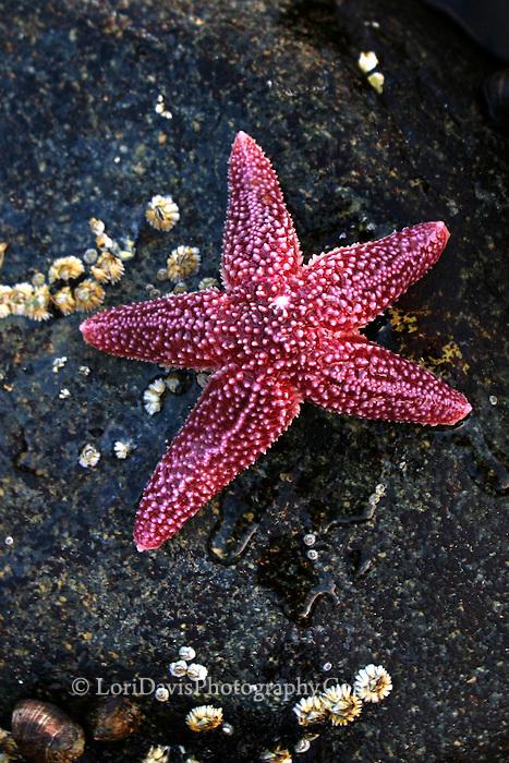 Sea Star  #N1